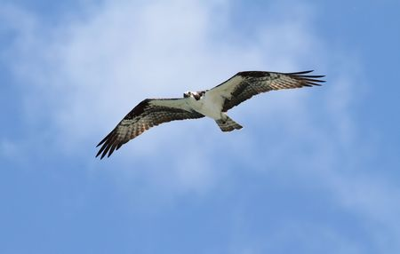 Osprey (pandion haliaetus) in flight with a blue sky background photo