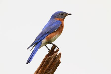 bluebird: Eastern Bluebird (Sialia sialis) on a stump - Isolated on a white background