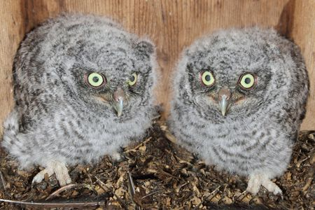 Baby Eastern Screech-Owls (Megascops asio) in a nest box photo