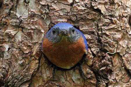 bluebird: Eastern Bluebird (Sialia sialis) on a tree in a nest hole