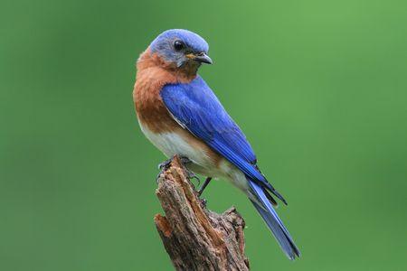 bluebird: Male Eastern Bluebird (Sialia sialis) on a stump with a green background