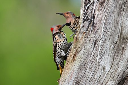 Northern Flickers (Colaptes auratus) on a tree trunk clearing wood out of a nest hole Stock Photo