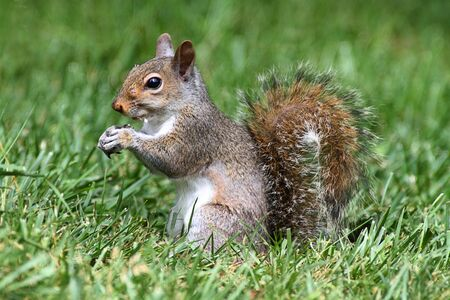 Gray Squirrel (sciurus carolinensis) eating on a lawn Stock Photo - 7135592