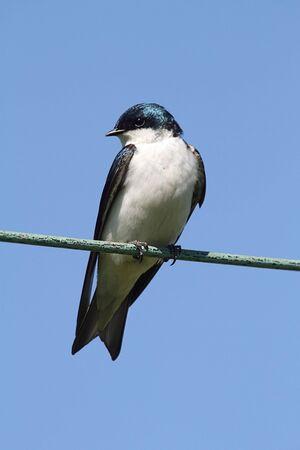 golondrinas: Árbol Golondrina (tachycineta bicolor) sobre un cable con un fondo de cielo azul