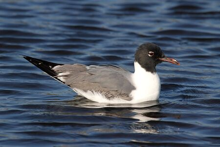 gulf of mexico: Laughing Gull (Larus atricilla) swimming in the Gulf of Mexico