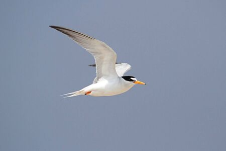 federally: Federally Endangered Least Tern (Sterna antillarum) in flight over the beach with a blue sky background Stock Photo