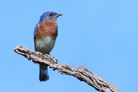 Male Eastern Bluebird (Sialia sialis) on a branch with a blue background Stock Photo - 7195215