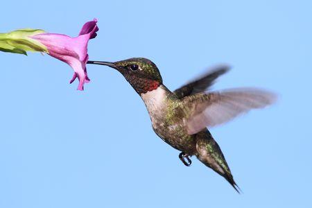 colibries: Macho colubris Colibrí (archilochus colubris) en vuelo con una flor morada y un fondo de cielo azul  Foto de archivo