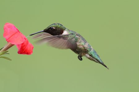 Male Ruby-throated Hummingbird (archilochus colubris) in flight with a red flower and a green background photo