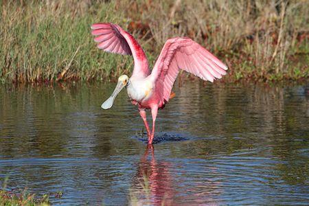 wading: Roseate Spoonbill (Platalea ajaja) wading in the Florida Everglades Stock Photo
