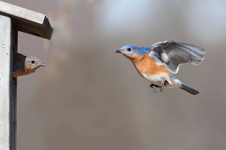 Pair of Eastern Bluebird (Sialia sialis) on a birdhouse 版權商用圖片