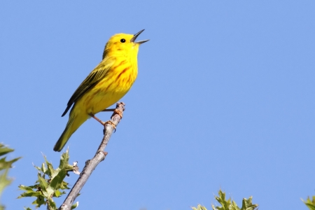 Yellow Warbler (Dendroica petechia) on a branch in early spring 스톡 콘텐츠
