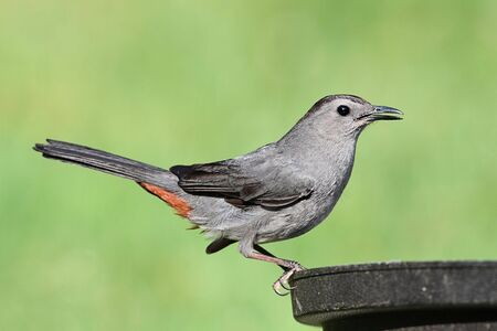 Gray Catbird (Dumetella carolinensis) on a bird bath Stock Photo - 7374946