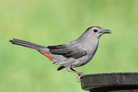 catbird: Gray Catbird (Dumetella carolinensis) on a bird bath