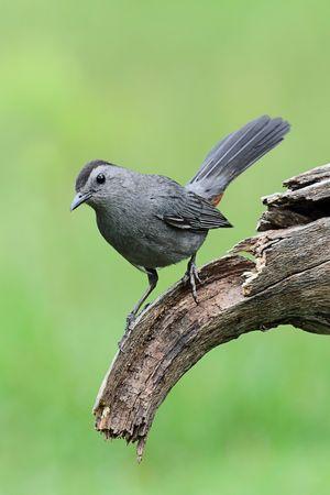 catbird: Gray Catbird (Dumetella carolinensis) on a branch