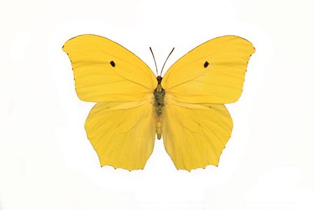 sulphur: Sulphur Butterfly (Anteos Maerula) isolated on a white background