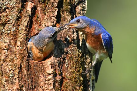 bluebird: Pair of Eastern Bluebirds (Sialia sialis) by a nest hole