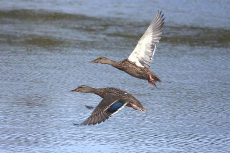 platyrhynchos: Pair of Mallards (Anas platyrhynchos) flying over water Stock Photo