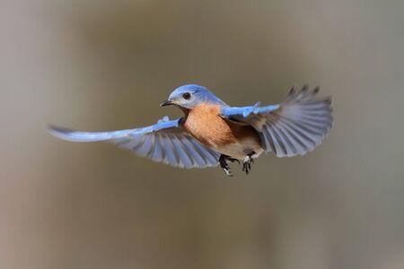 Male Eastern Bluebird (Sialia sialis) in flight photo