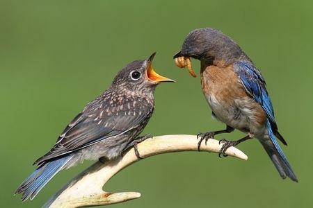 Vrouwelijke Oost Bluebird (Sialia sialis) voeden van een hongerige baby op een herten gewei