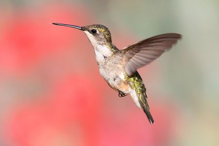 Juvenile Ruby-throated Hummingbird (archilochus colubris) in flight with a colorful background photo