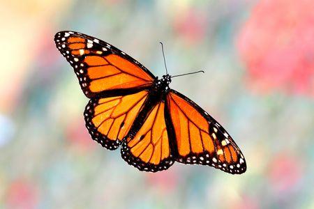 화려한 배경에 바둑 나비 (danaus plexippus)