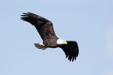 성인 대머리 독수리 (haliaeetus leucocephalus) 푸른 하늘을 비행 중에