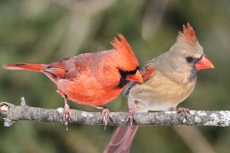 Pair of Northern Cardinals (cardinalis) perched on a branch photo