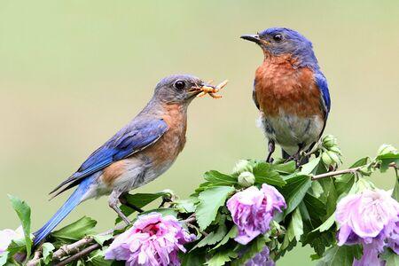 히비스커스 부시에 동부 Bluebirds (Sialia sialis)