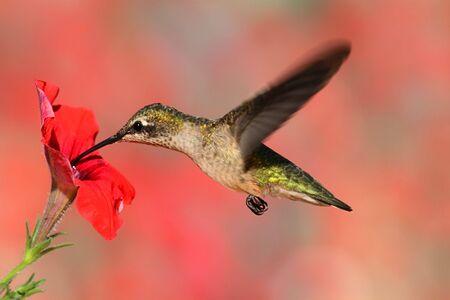 화려한 배경으로 꽃에서 비행 청소년 루비-throated 벌새 (archilochus의 콜루브리스)