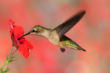 ruby throated: Juvenile Ruby-throated Hummingbird (archilochus colubris) in flight at a flower with a colorful background