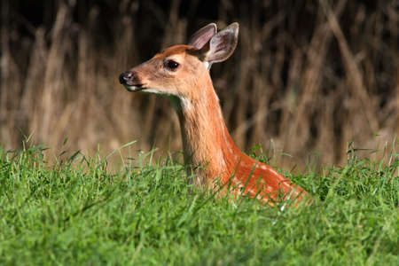 odocoileus: White-tailed Deer (Odocoileus virginianus) fawn in deep grass