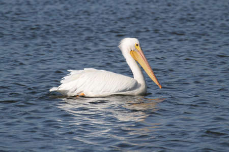 American White Pelican (Pelecanus erythrorhynchos) in the Florida Everglades