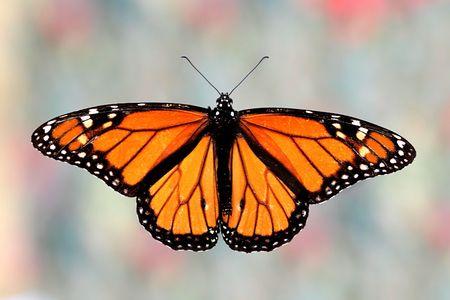 danaus: Monarch Butterfly (danaus plexippus) on colorful background