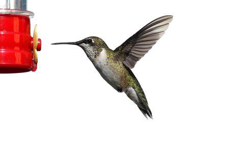 colibries: Masculina Archilochus colubris (archilochus colubris) en vuelo en un alimentador aislado en un fondo blanco