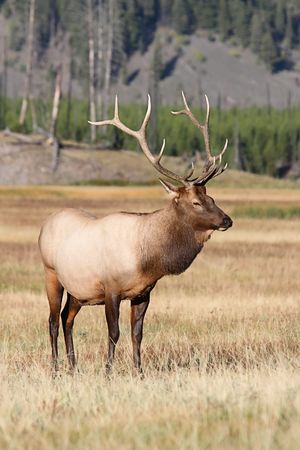 canadensis: Majestic Bull Elk (Cervus canadensis) in in Yellowstone National Park