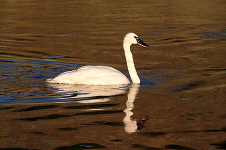 Endangered Trumpeter Swan (Cygnus buccinator) swimming in Yellowstone National Park photo