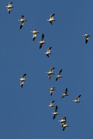 Large flock of Snow Geese (chen caerulescens) taking flight photo