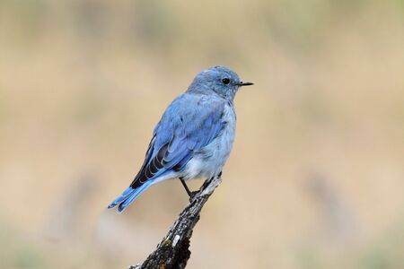 yellowstone: Male Mountain Bluebird (Sialia currucoides) in Yellowstone National Park Stock Photo