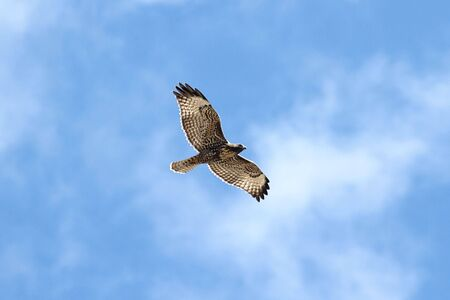 Juvenile Western Red-tailed Hawk (buteo jamaicensis) flying against a blue sky