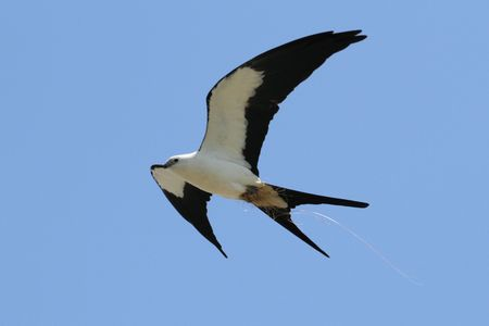 everglades: Swallow-tailed Kite (Elanoides forficatus) in flight with nesting material in the Florida Everglades Stock Photo