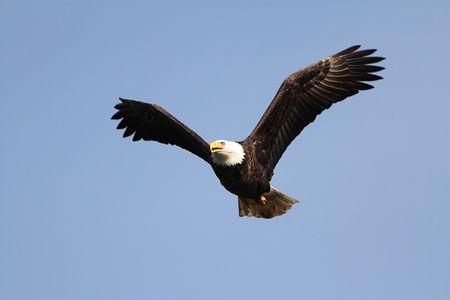 calvo: Adultos o águila calva (haliaeetus leucocephalus) en vuelo contra un cielo azul