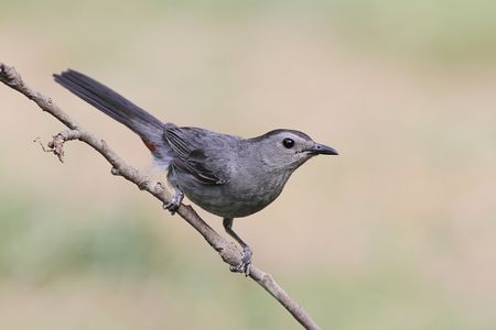 Gray Catbird (Dumetella carolinensis) on a branch Stock Photo - 7908612