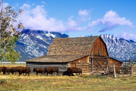 Iconic Mormon Row Barn which is a structure that is a part of Grand Tetons National Parks with bison in the background photo