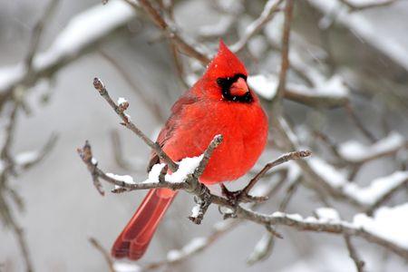 ornithology: Male Northern Cardinal (cardinalis cardinalis) on a branch in a snow storm Stock Photo