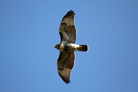 Red-tailed Hawk (buteo jamaicensis) flying against a blue sky Stok Fotoğraf