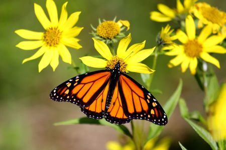 Monarch Butterfly (danaus plexippus) on Woodland Sunflowers (Helianthus divaricatus) Stock Photo