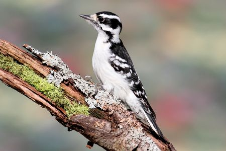 downy woodpecker: Downy Woodpecker (Picoides pubescens) on a stump with a colorful background Stock Photo