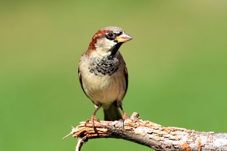 passer    by: Male House Sparrow (Passer domesticus) perched with a green background Stock Photo