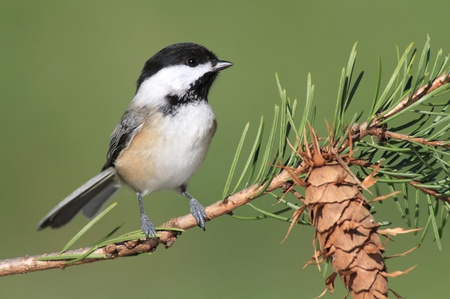 Black-capped Chickadee (poecile atricapilla) on a perch with a green background and pine cone Stock Photo